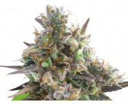 ROYAL BLUEMATIC Royal Queen Seeds