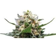 ROYAL MEDIC Royal Queen Seeds