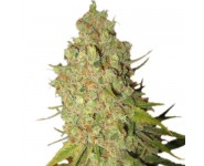 SPECIAL KUSH #1 Royal Queen Seeds