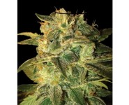 SUGAR MANGO RYDER World Of Seeds