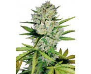 Super Skunk Automatic Autoflorecientes