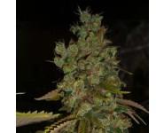 SUPER SOUR SKUNK Hortilab