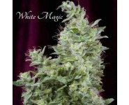 WHITE MAGIC Mandala Seeds