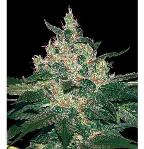 Graines cannabis Afghan Kush