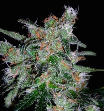 Graines Lemon Skunk autofloraison