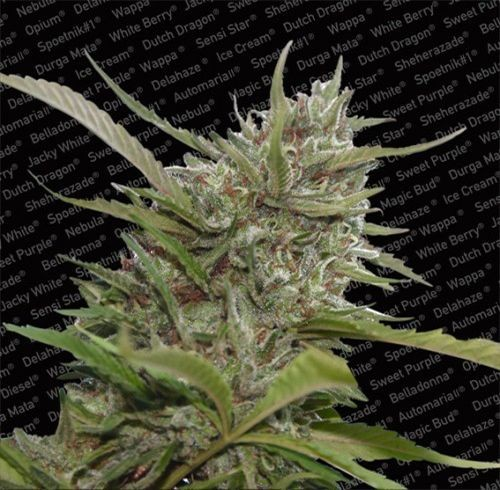 Graines Auto White Berry