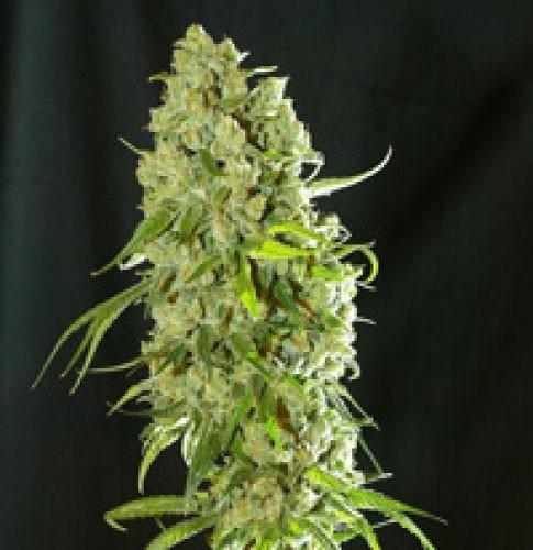 Graines cannabis Cannatonic