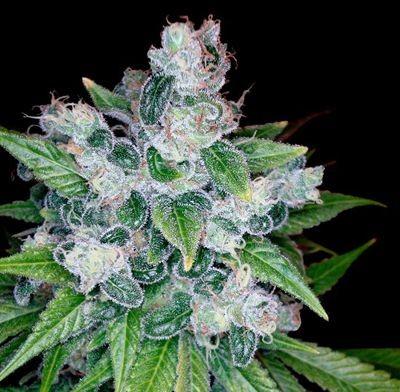 Graines cannabis Kandy Kush