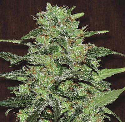Graines Malawi Ace Seeds