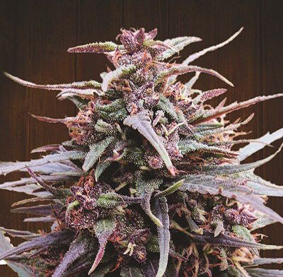 Graines Purple Haze x Malawi