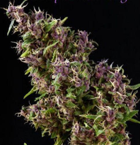 Graines feminisées Purple Paro Valley