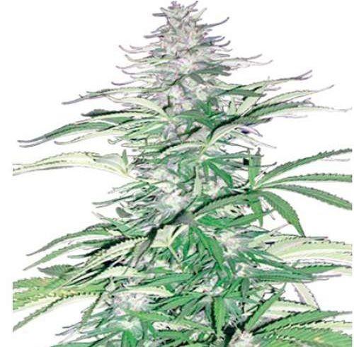 Graines cannabis Sugar Loaf