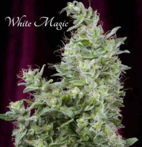 Graines feminisées White Magic