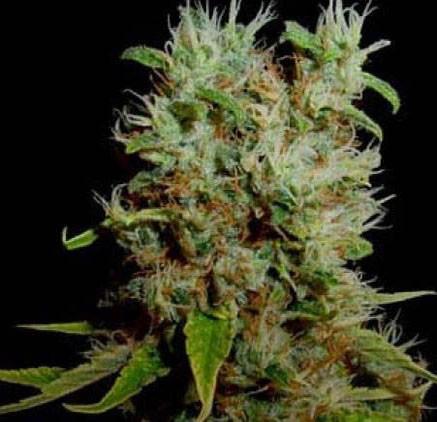 Graines cannabis Buddha Sister