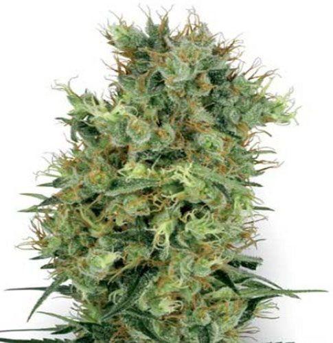 Graines régulières Californian Orange Bud