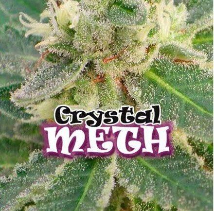 Graines feminisées Crystal Meth