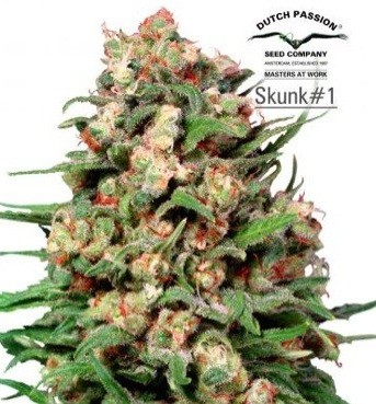 Graines Skunk11 Fem