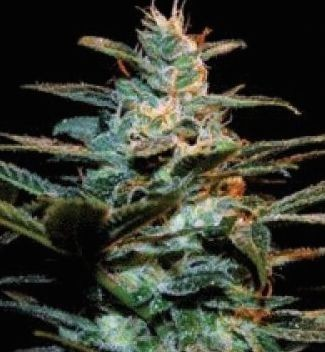 Graines Ice Cool Sweet Seeds