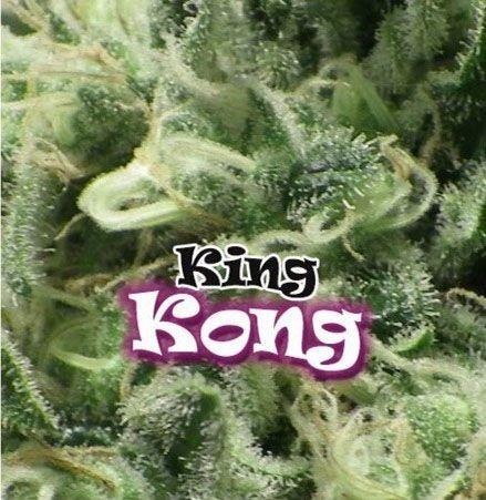 Graines feminisées King Kong