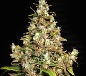 Graines Monster Eva Seeds