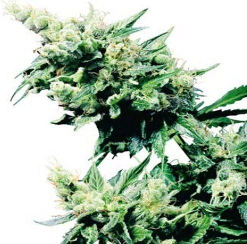 Hash Plant graines régulières
