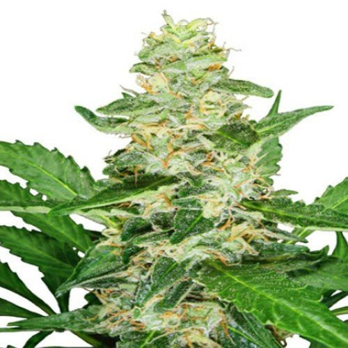 Graines Super Skunk Auto