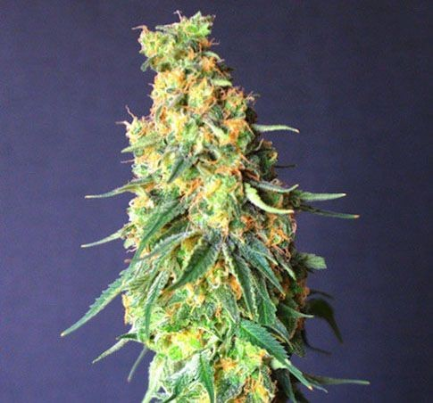 Graines White Domina Cbd