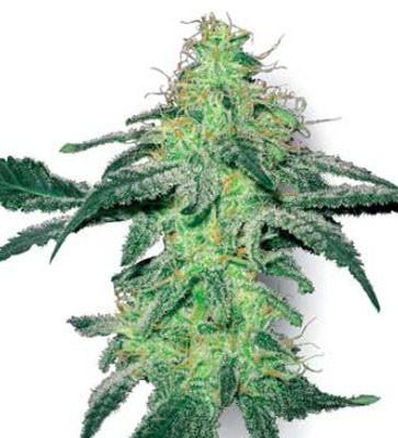 Graines cannabis White Skunk