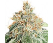Graines autofloraison Colorado Cookies