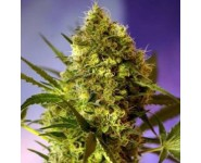 Graines Big Devil Sweet Seeds