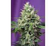 Graines autofloraison Blow Mind