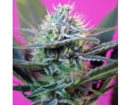Graines autofloraison +Speed
