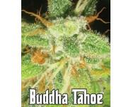 Graines feminisées Buddha Tahoe