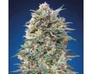 Graines 00 California Kush