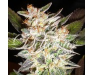 Graines Cheese Candy Auto