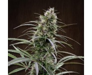 Graines Congo Ace Seeds