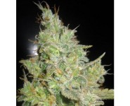 CRITICAL KALI MIST Delicious Seeds