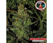 Graines Critical Mass Automatic Auto
