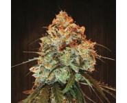 GOLDEN TIGER Ace Seeds