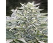 HASHBERRY Mandala Seeds