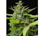 KISS DRAGON Samsara Seeds