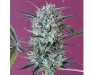 KRYSTALICA Mandala Seeds