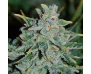 Graines Northern Light Blue Auto