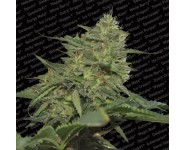 ORIGINAL CHEESE Paradise Seeds