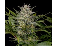 Pinneapple Skunk Graines Humboldt