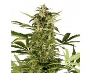 Graines autofloraison Polarlght#3