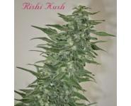 Graines régulières Rishi Kush