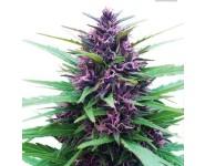 Graines cannabis Shaman