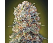 Graines Sweet Critical 00