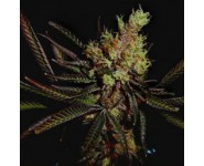 Graines Amehtyst Bud Soma Seeds